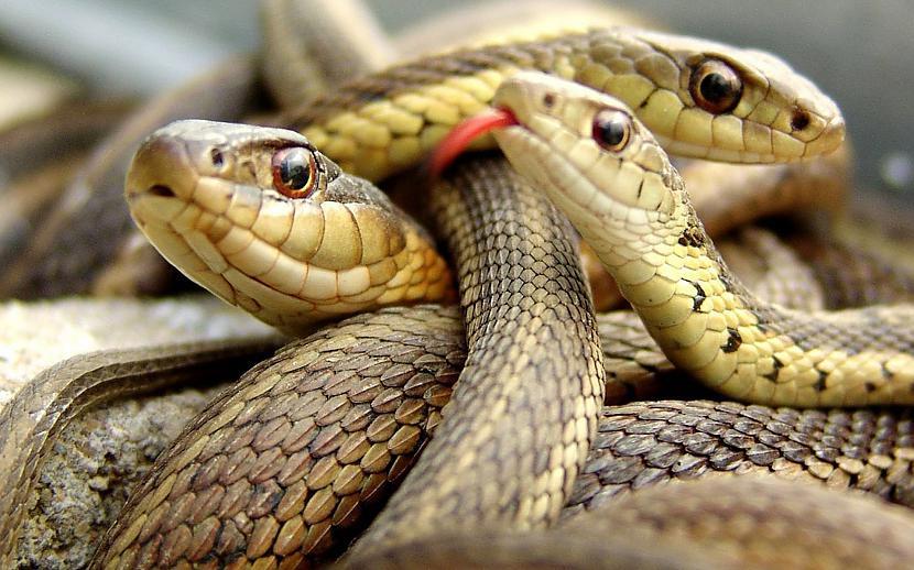 Vīriescaronu dzimuma čūskām ir... Autors: Black Lagoon 10 Fakti Par Dzīvniekiem