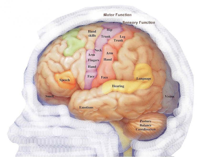 4 Smadzenes ir visātrākais... Autors: Čarizards 10 fakti par cilvēka smadzenēm.