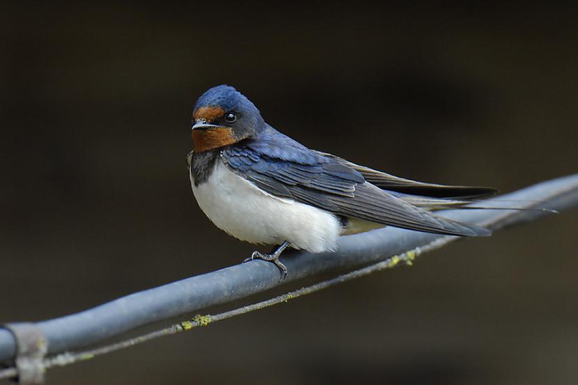Austrijas nacionālais putns ir... Autors: chupachabra Valstu nacionālie putni