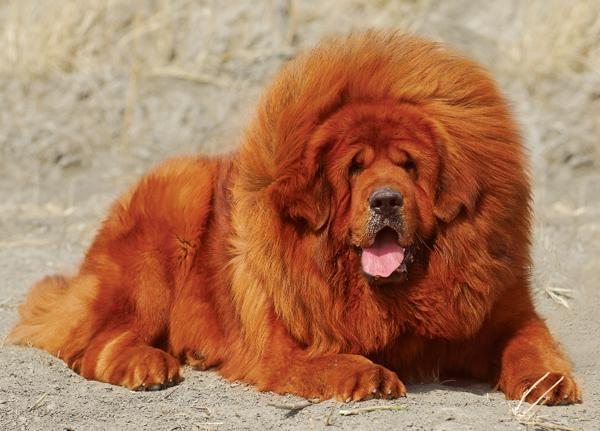 nbsp8 Pasaulē dārgākais suns... Autors: Fosilija AK 3. diena - Interesanti fakti par šo un to.