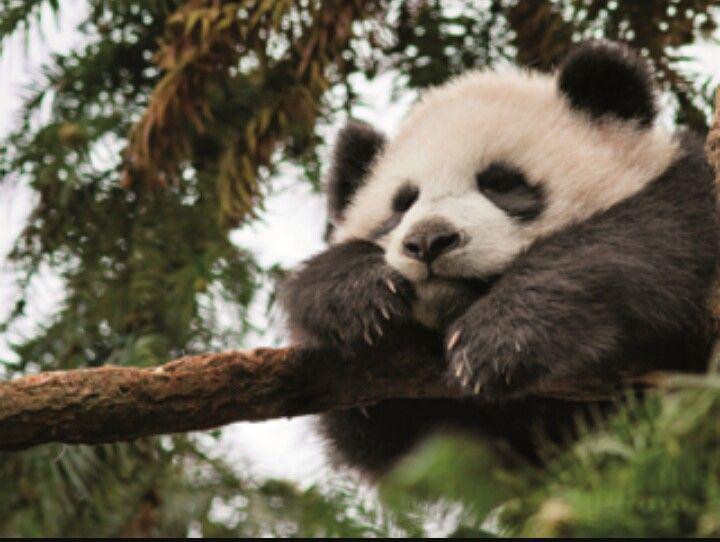 Autors: Drakonvīrs Panda