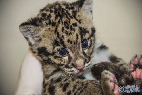 Autors: Lūšuks2413 Leopardi