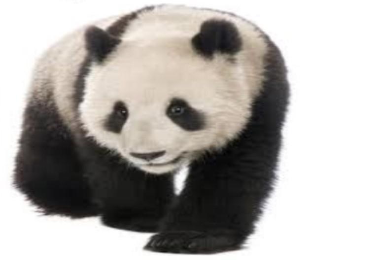 Pandas ļoti mīl cilvēkus Autors: ere222 zxzxhzc Pandas