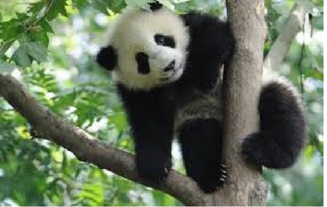 Lielā panda ir Ķīnas... Autors: ere222 zxzxhzc Pandas