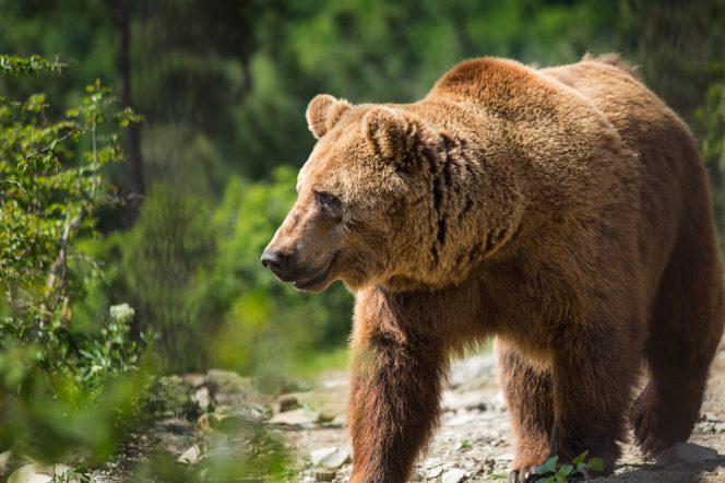 Gan vilki gan brūnie lāči medī... Autors: ere222 zxzxhzc Lāči
