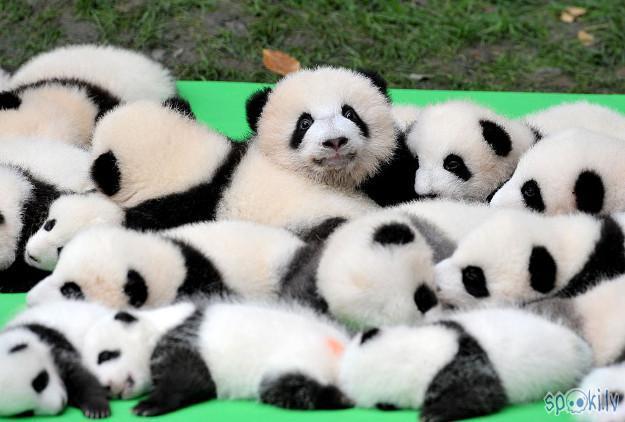 Visi milzu pandas mazuļi kas... Autors: vienanominkam Lielās pandas.