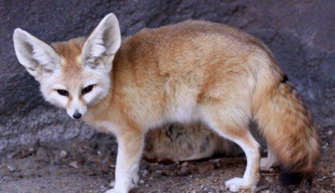 Feneks ir suņu dzimtas... Autors: Fosilija Feneks