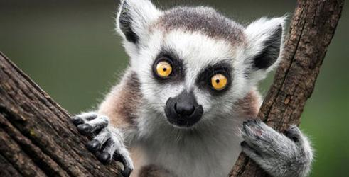 Tas arī scaronodien būs viss... Autors: ere222 zxzxhzc Lemuri
