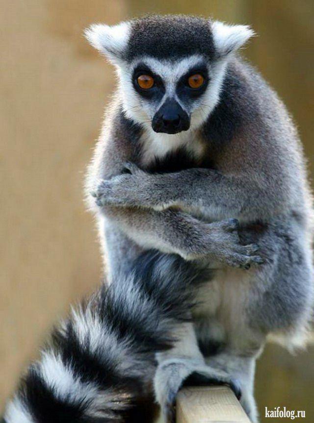 Lemuri nav ne pērtiķu ne... Autors: ere222 zxzxhzc Lemuri