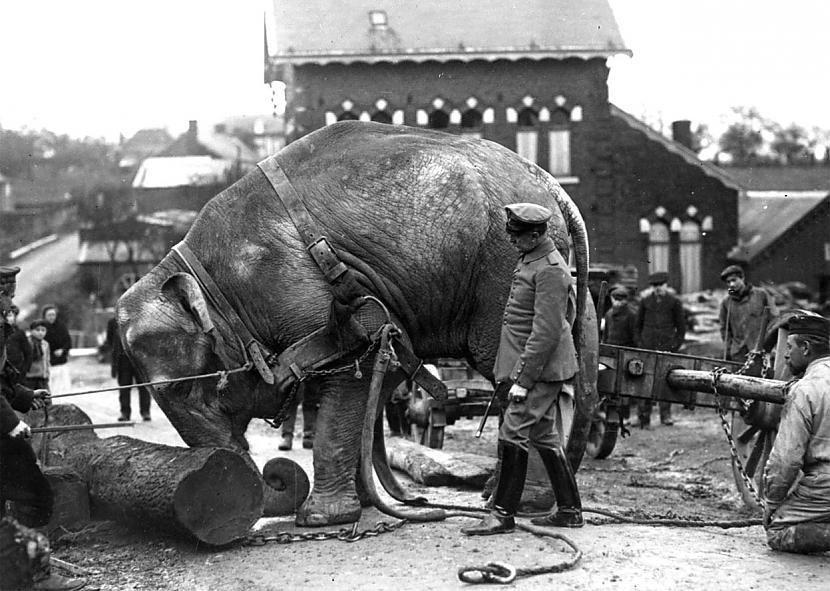 Vācu zilonis darba laikā 1915... Autors: Lestets Ziloņi 1. pasaules kara laikā