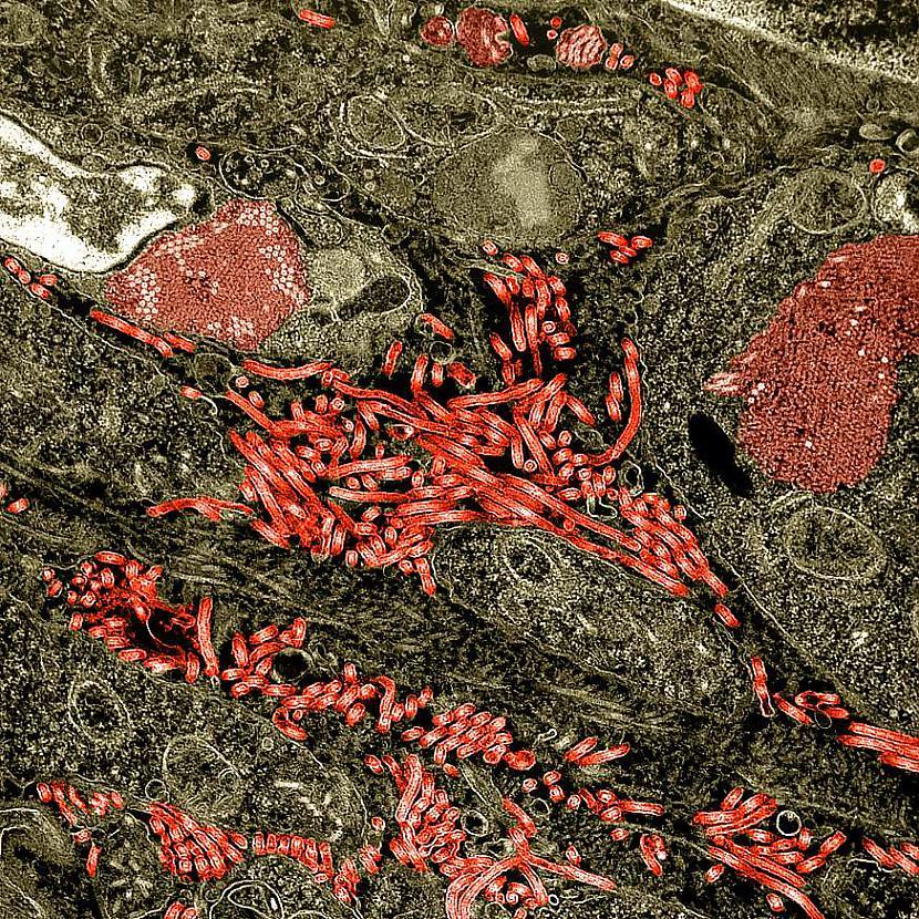 EbolaMēs gandrīz visi domājam... Autors: Everbergerdīne 9 slimības, kas nopietni skar dzīvnieku sugas.