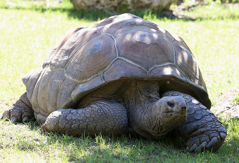 Aldabra milzu bruņurupuči  255... Autors: Lestets 13 dzīvnieki ilgdzīvotāji