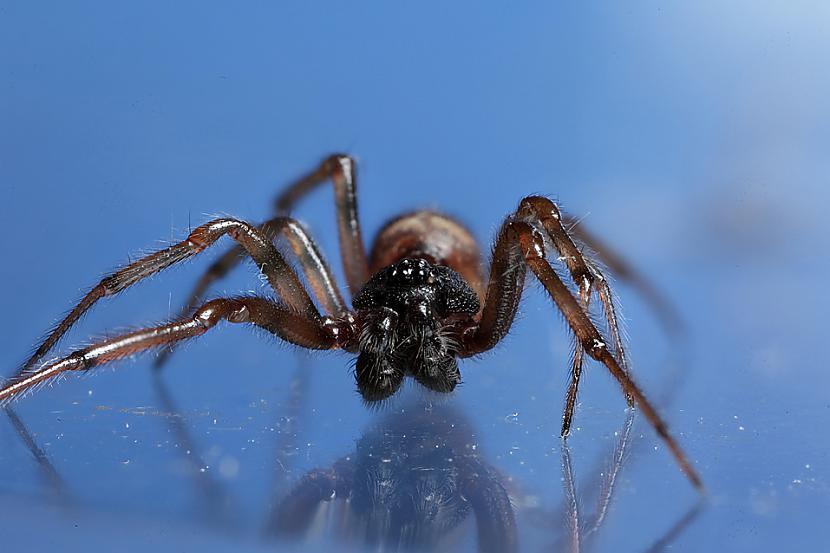 Kad scaronie zirnekļi... Autors: Kapteinis Cerība Interesanti fakti par Pundurzirnekli