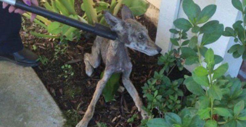 Dzīvnieku patversme... Autors: nikrider Cilvēki izglāba ļoti slimu suni, bet beigās saprata, ka tas vispār nav suns