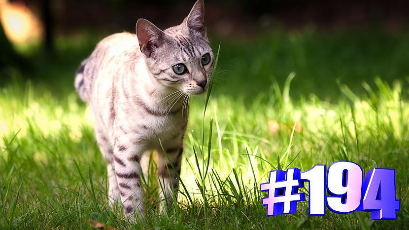 Autors: kotomaniabest Smieklīgi kaķi   Jautrība ar kaķiem, katomanija #194 (video)